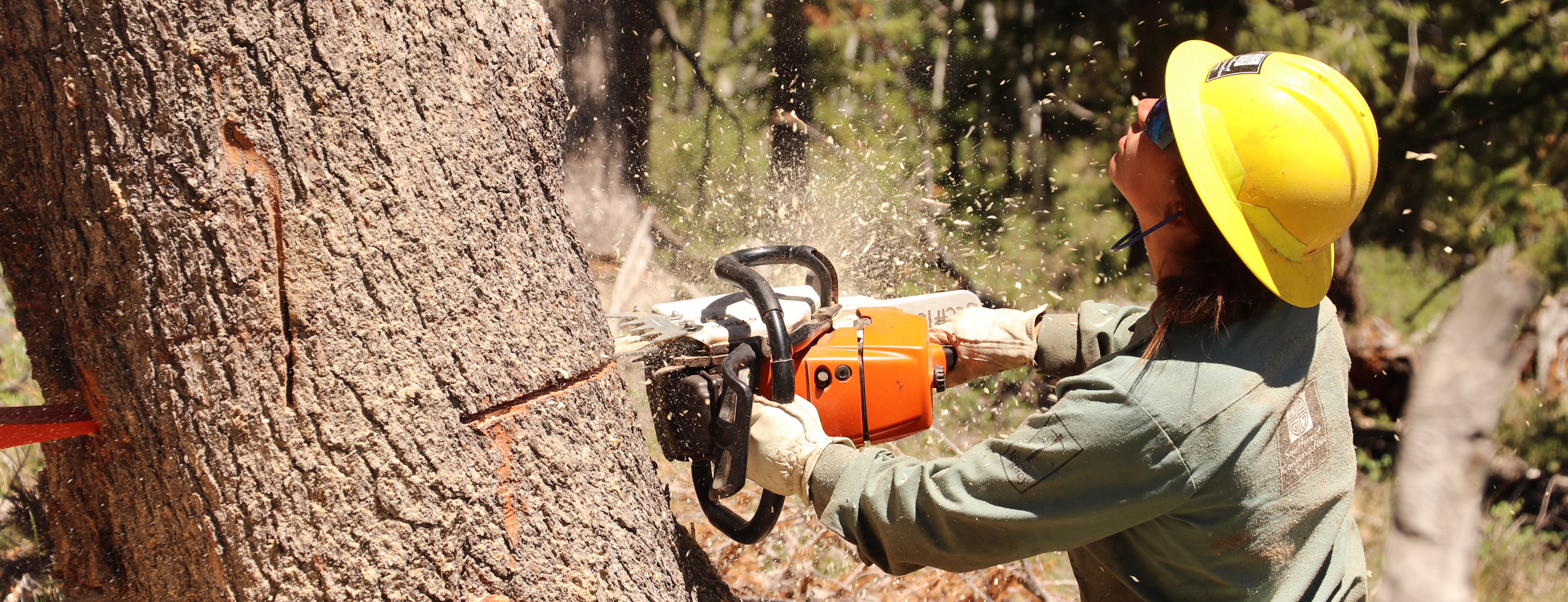 Crew member sawing a tree